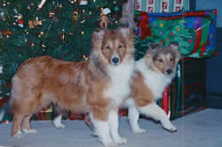 Christmas at the House in Texas (Sheltie style) 001.jpg